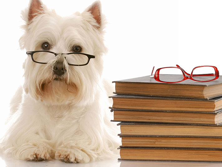 Westie with Books